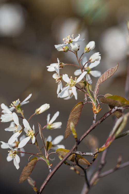 Amelanchier lamarckii in bloei – 31 maart 2017