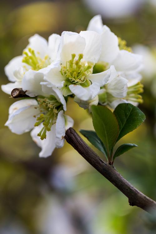 Chaenomeles speciosa 'Nivalis' in bloei – 31 maart 2017