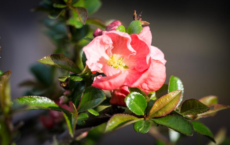 Chaenomeles superba 'Pink Lady' in bloei – 31 maart 2017