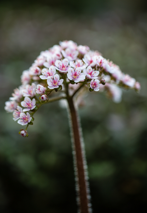 Darmera peltata in bloei – 15 april 2015
