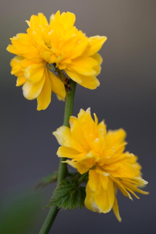 Kerria jap. 'Pleniflora' in bloei – 31 maart 2017