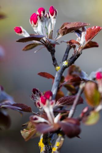 Malus 'Aldenhamensis' in bloei – 31 maart 2017