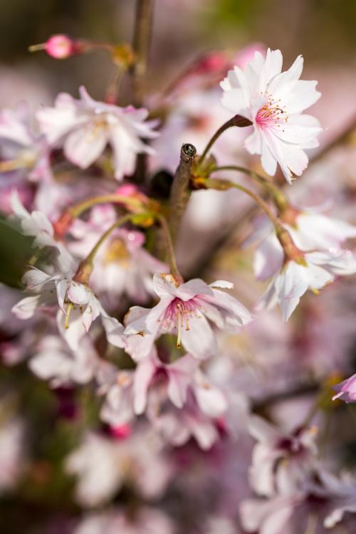 Prunus subhirtella 'Autumnalis Rosea' in bloei – 31 maart 2017