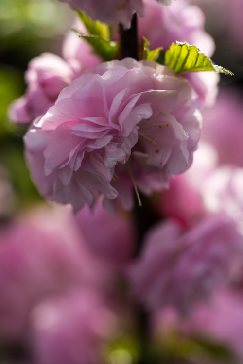 Prunus triloba in bloei – 31 maart 2017