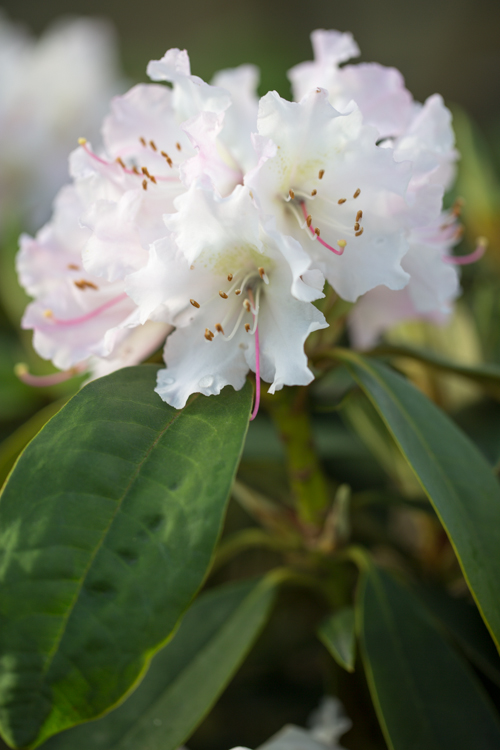 Rhododendron hybr. 'Christmas Cheer' in bloei – 31 maart 2017