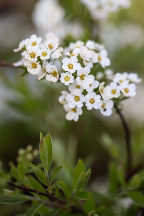 Spiraea cinera 'Grefsheim' in bloei – 31 maart 2017