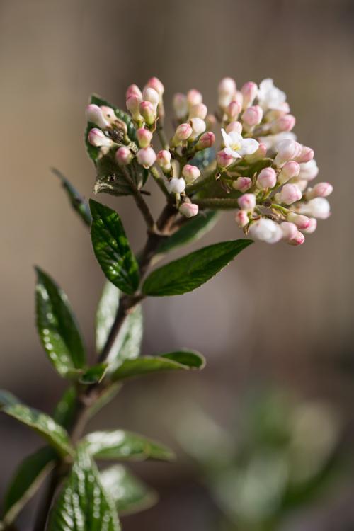 Viburnum burkwoodii bijna in bloei – 31 maart 2017